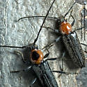 Borer couple (male with black dot) - Stenosphenus notatus - male - female