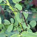 Phantom Crane Fly (Bittacomorpha clavipes) Great Marsh Trail Indiana Dunes National Lakeshore Porter County IN September 2014 JS - Bittacomorpha clavipes