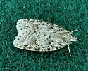 small moth - Bibarrambla allenella