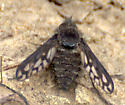 Bee fly species? - Conophorus fenestratus - female