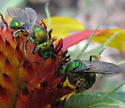 Which Augochlorini? - Augochlora pura - female
