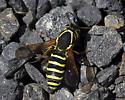 Pollen Wasp - Pseudomasaris zonalis - female