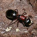Carpenter Ant with larvae - Camponotus novaeboracensis - female