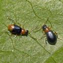 Beetles 2011_04_23_1435 - Hypebaeus bicolor - male - female