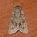 Radcliffe's Dagger Moth - Acronicta radcliffei
