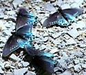 blue butterflies - Battus philenor