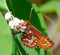 Euphydryas anicia capella - Euphydryas anicia
