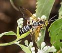 Tachytes sp.? - Tachytes distinctus - male