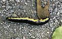 caterpillar ID? - Ceratomia catalpae