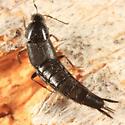 Rove Beetle - Acylophorus