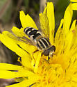 Hoverfly - Lejops lineatus