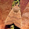 Sunira bicolorago