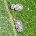 Powdery-white lace bugs - Corythucha immaculata