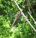 male Common Baskettail - Epitheca cynosura - male