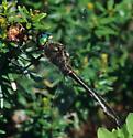 American Emerald - Cordulia shurtleffii