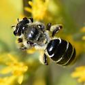 Andrena female on Solidago nemoralis - Andrena - female