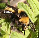 Northern Amber Bumble Bee, face - Bombus borealis