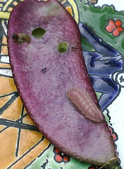 unusual cat - Strymon melinus