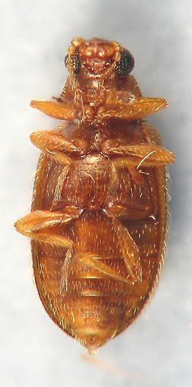 typical Latridiidae  - Melanophthalma