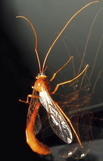 Large Ichneumon - Enicospilus