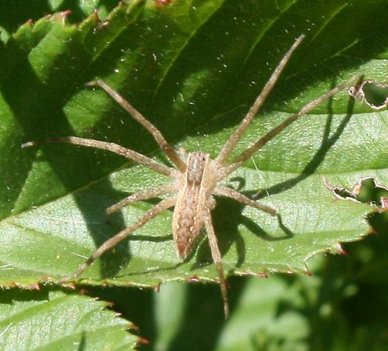 Pisaurina mira - Nursery Web Spider? - Pisaurina mira
