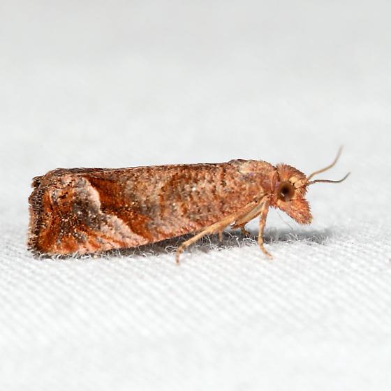 Derelict Pelochrista - Pelochrista derelicta