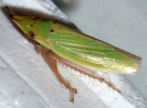 ? - Draeculacephala balli