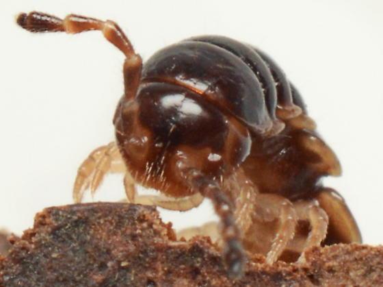 Oxidus gracilis