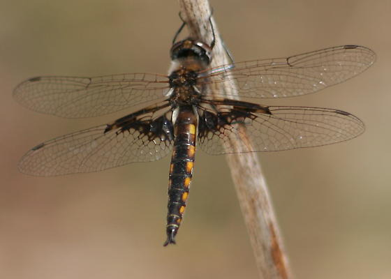 Mantled Baskettail (apparently) - Epitheca semiaquea