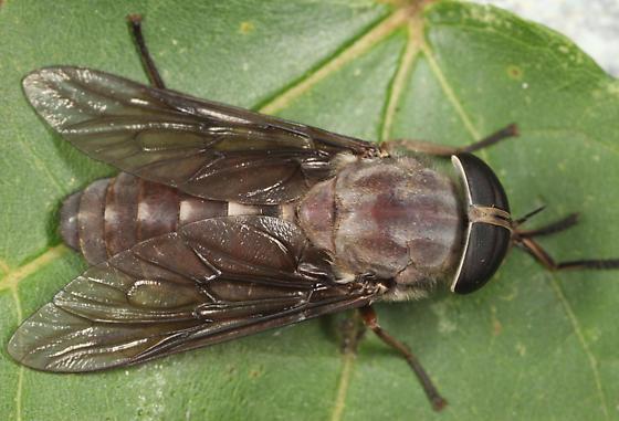 large Horse Fly - Tabanus catenatus