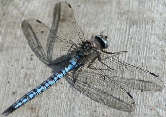Blue Dragonfly Denali N.P. - Aeshna septentrionalis