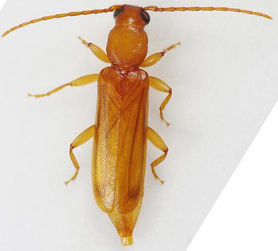 Beetle - Smodicum cucujiforme