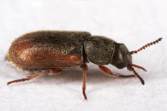 unknown beetle - Trichochrous