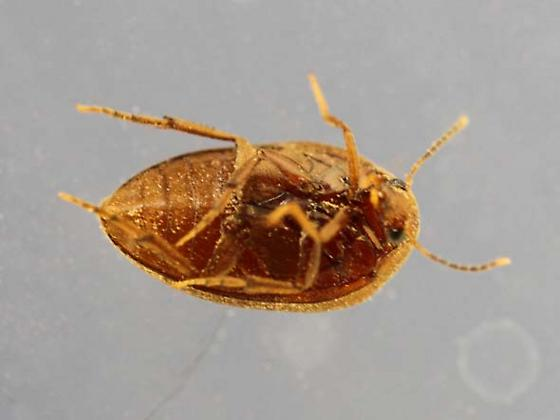 In the firewood stack - Nycteus oviformis