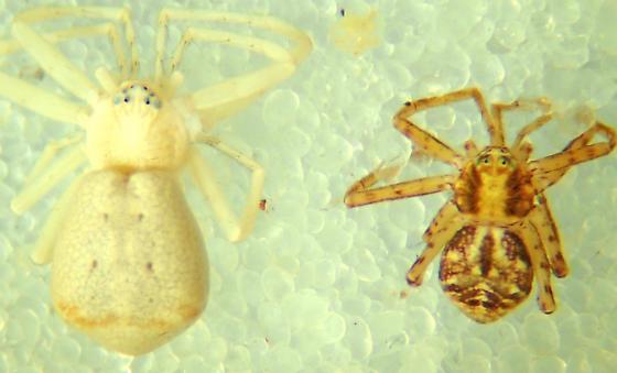 P. anomalus female - Philodromus anomalus - male - female