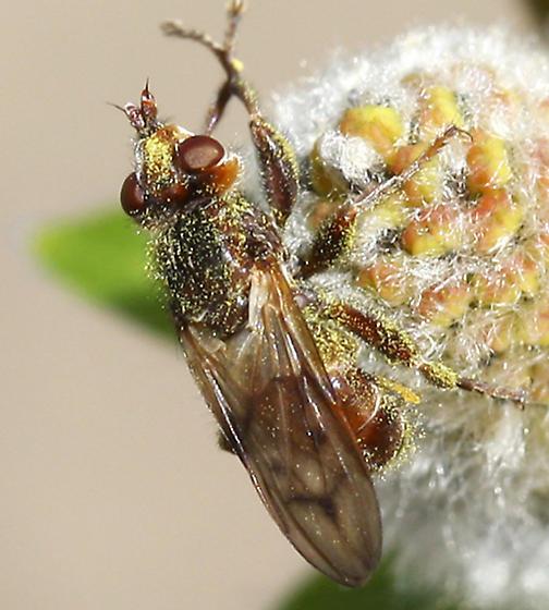 Small Fly - Myopa vicaria