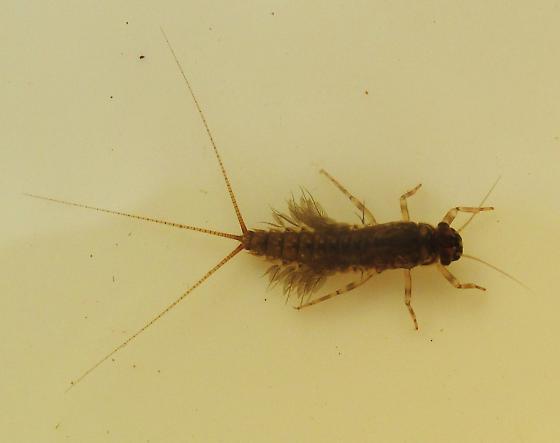 Leptophlebiidae