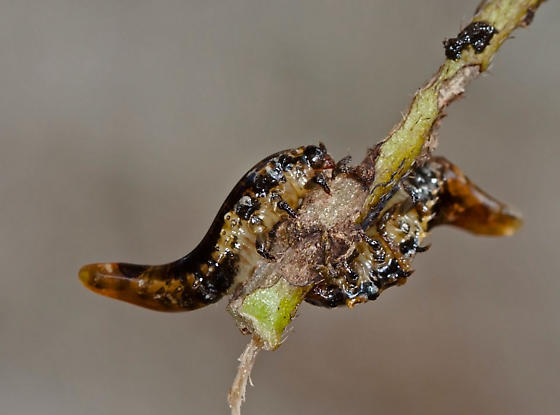 InsectLarva10162013ForWeb_0711 - Physonota calochroma