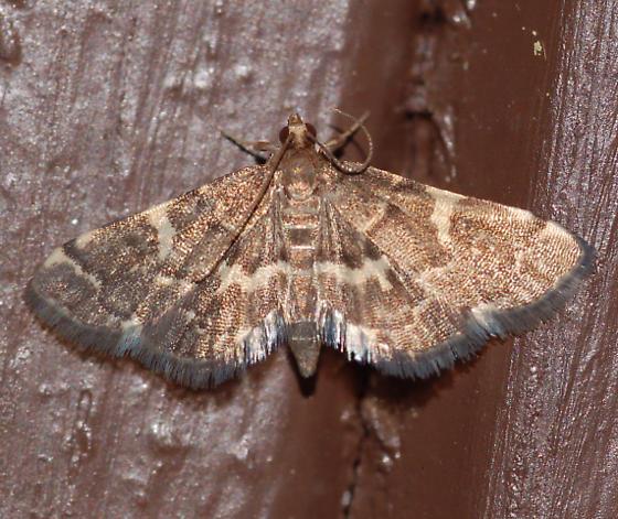 Moth on front door - Anageshna primordialis