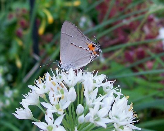 Push-me-pull-you - Strymon melinus - male