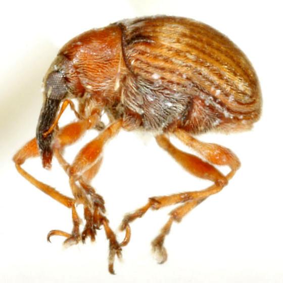 Nanodactylus obesulus Blatchley - Nanodactylus obesulus