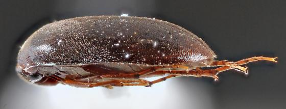 Lofland-1 - Euscaphurus spinipes