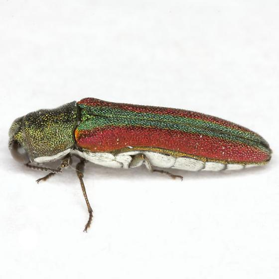 Agrilus (Engyaulus) rubrovittatus Waterhouse - Agrilus rubrovittatus