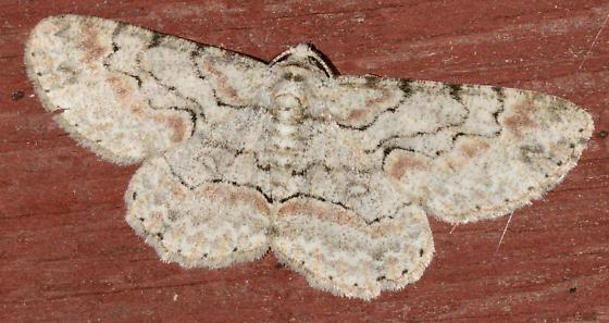 Brown and Tan Lined Moth? - Iridopsis defectaria
