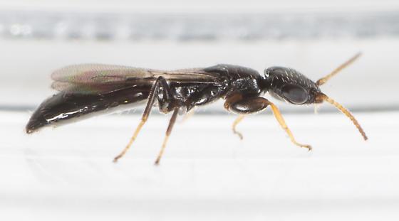 Wasp - Goniozus - female