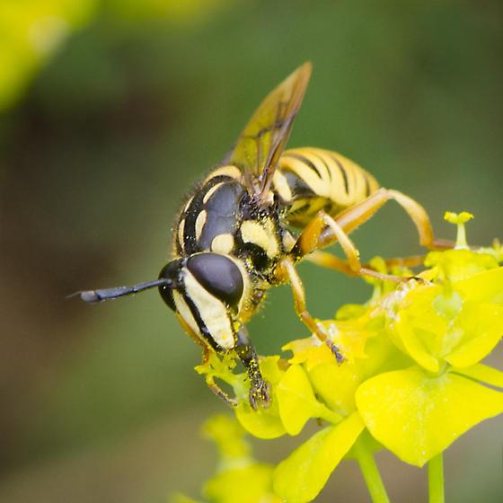 Syrphidae  ? - Sphecomyia vittata - male