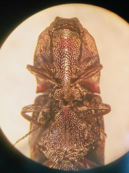 Lacon sp. marmoratus? - Lacon