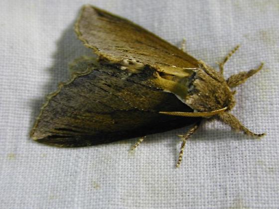 Notodontidae - Pheosidea elegans