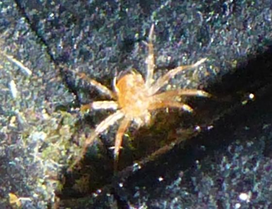 Quick little mite - Anystis