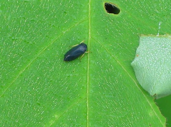 Hopper - Limotettix anthracinus
